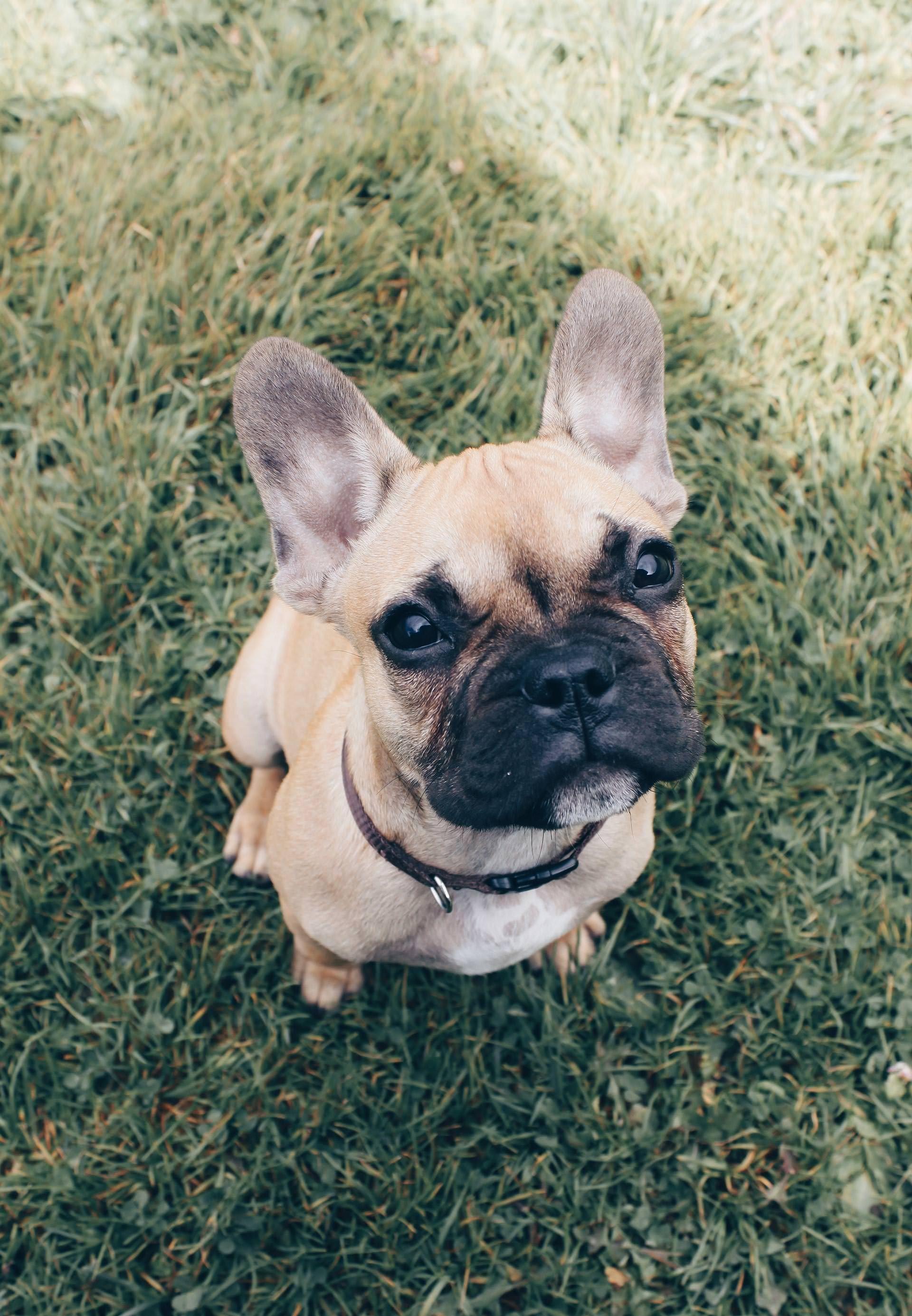 Wenn Der Eigene Hund Sterben Wird Franzosische Hunde Franzosische Bulldoggenbabys Franzosische Bulldogge