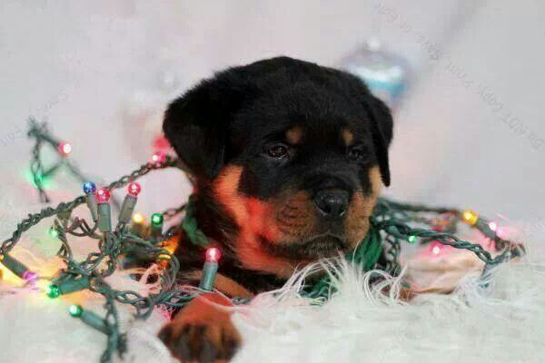 Happy Holidays I Love Rotties Pinterest Rottweiler