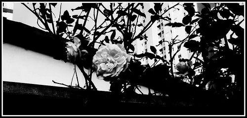 Rosas .. mesmo em PB