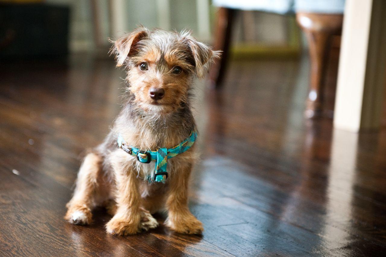 Olive our little Dorkie(Daschund/Yorkie mix) puppy at 4