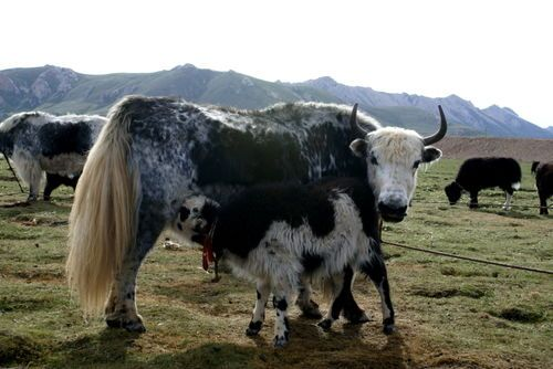Yaks The Official Animal Of Tibet With Images Yak Animals Tibet