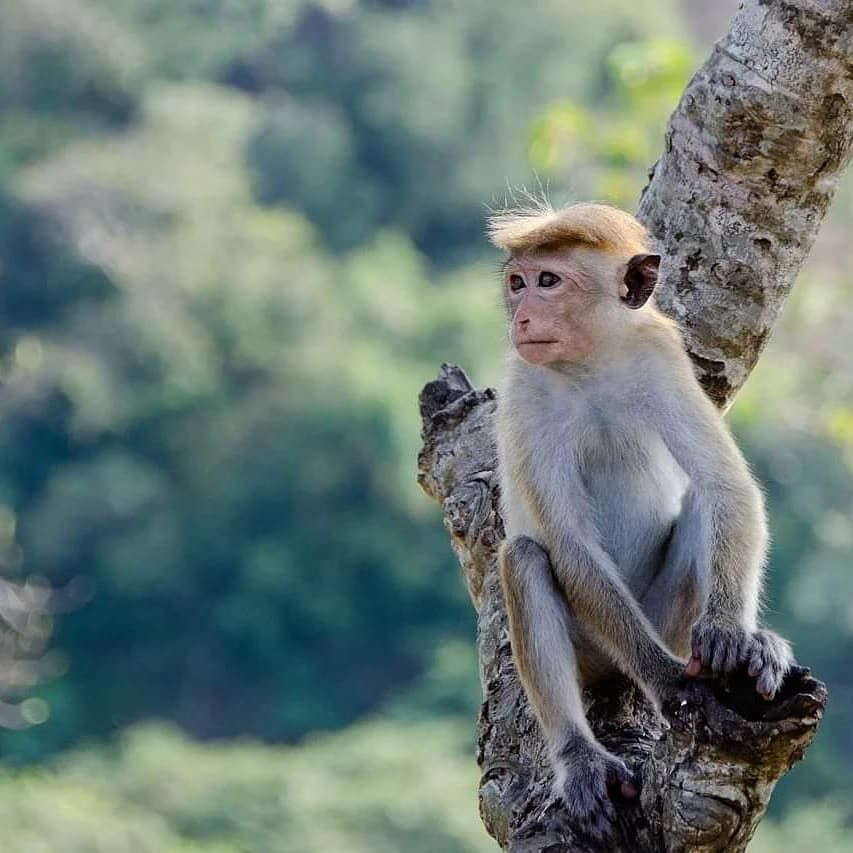 Plan Your Holiday To Sri Lanka With Us Silverwingslk Silver Wings Tours Sri Lanka Www Silverwingslk Com Feel Free T In 2020 Monkey World Pet Monkey Animals