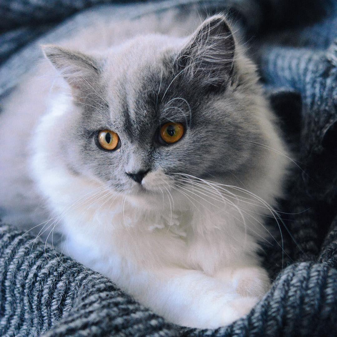 Lynn, 4 mois, toujours aussi douce, prête à découvrir ce qui l'entoure, à chasser les moucherons, à surveiller le poulet dans le four... Une vie de chat quoi ! #britishcat #britishlonghair  #britishduclosdeugenie #chat #cat #chaton #catsofinstagram #instacat #catstagram #catawards