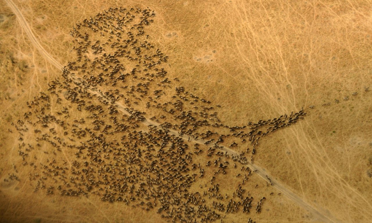 Although The Exact Timing Of The Annual Wildebeest Migration Is