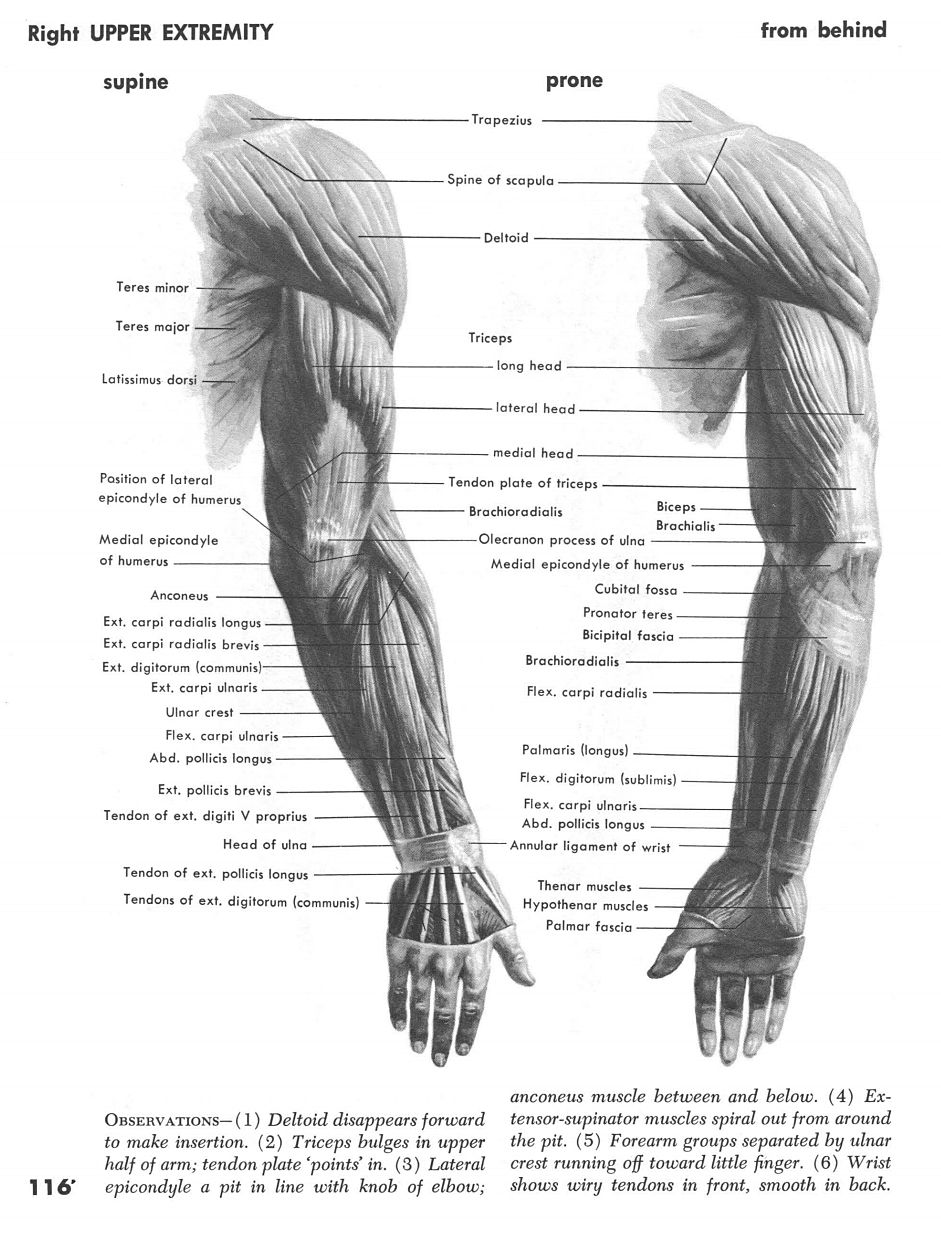 Right Arm Behind | 2 | Pinterest | Arms and Anatomy