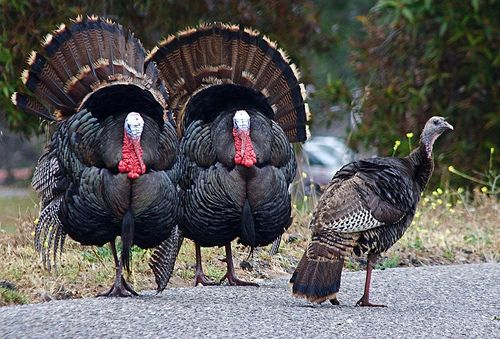 Wild Turkeys Let Them Stand In Line For Me I Ll Have To Think It Over Wild Turkey Animals Pet Birds