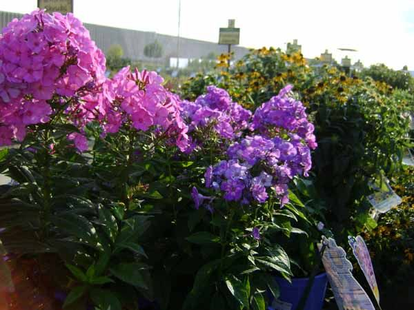 Candy Store Phlox in the evening sunlight.