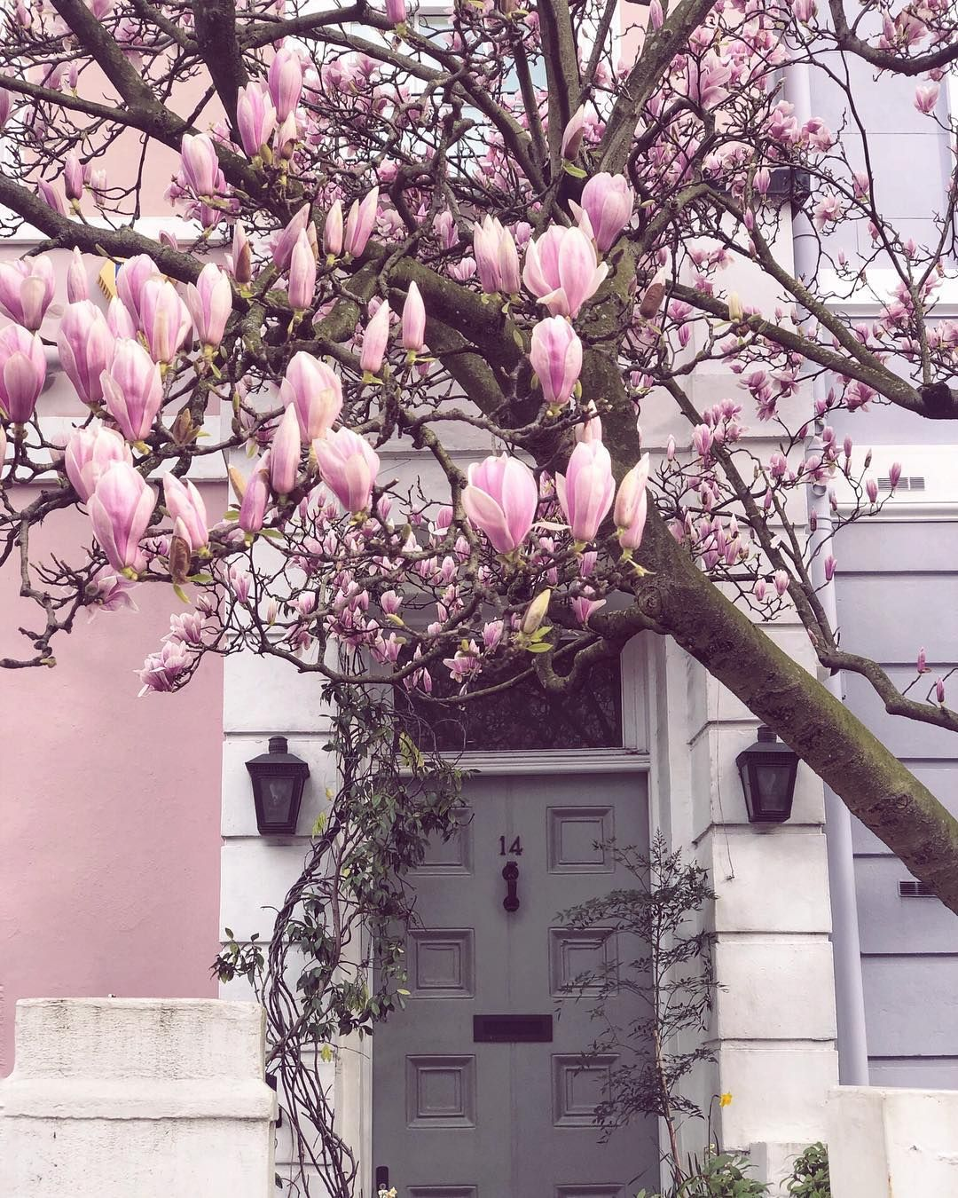 Blooming Magnolia Trees Whenever We Get A House I Want Some Of These Trees In Our Yard Magnolia Trees Magnolia Soulangeana Saucer Magnolia Tree
