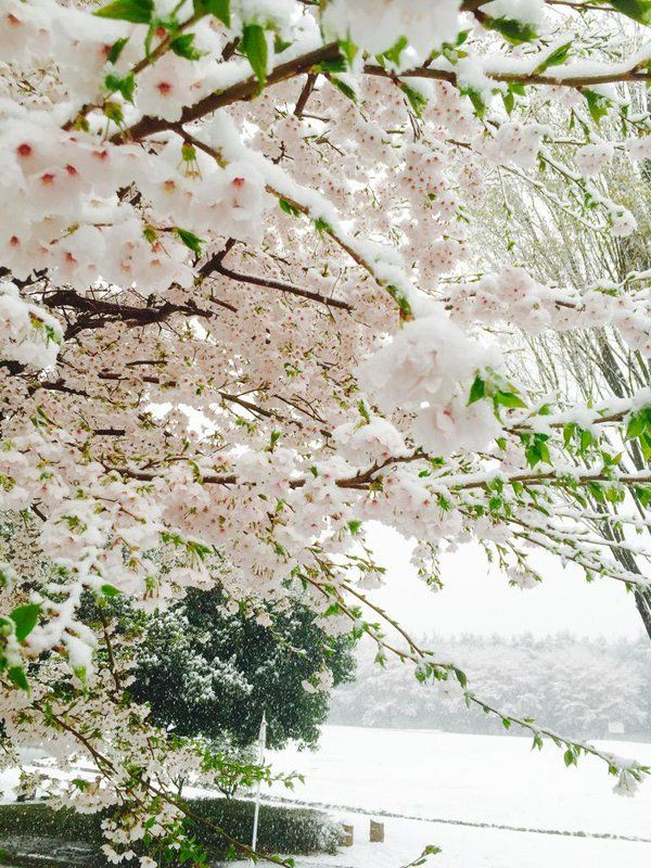 Sakura Bunga Sakura Bunga Salju