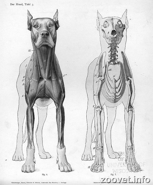 Pin by Maura Lyons on Dogs | Pinterest | Anatomy