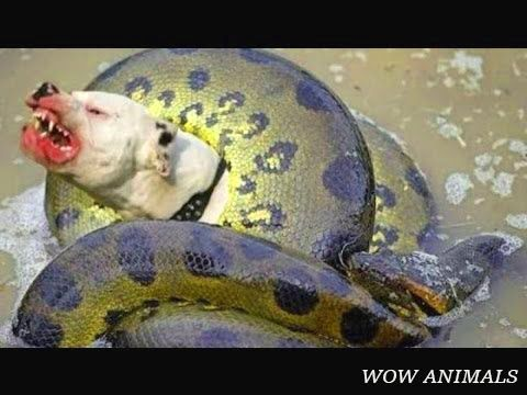 Anaconda Kill And Eat Pitbull Dog Snake King Cobra Python