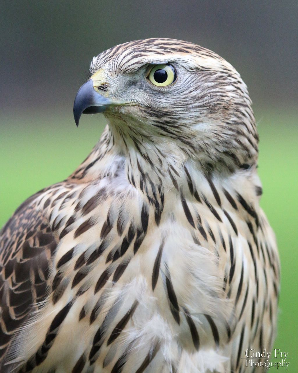 Goshawk Pet Birds Birds Of Prey Wild Birds