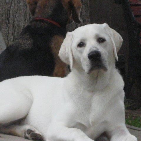 Texas White Lab Lab Puppies Labrador Labrador Retriever