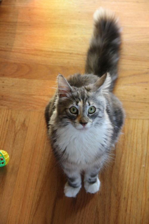 Basil She S 8 Months Old Norwegian Forest Cat Kittens Cutest Norwegian Cat Norwegian Forest Cat