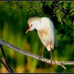 EmilyDawn2's Profile - Pixdaus - Cattle Egret in his prime breeding regalia