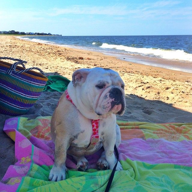 Kissingwrinkles Perfect Bulldog Weather Today At Broadkill
