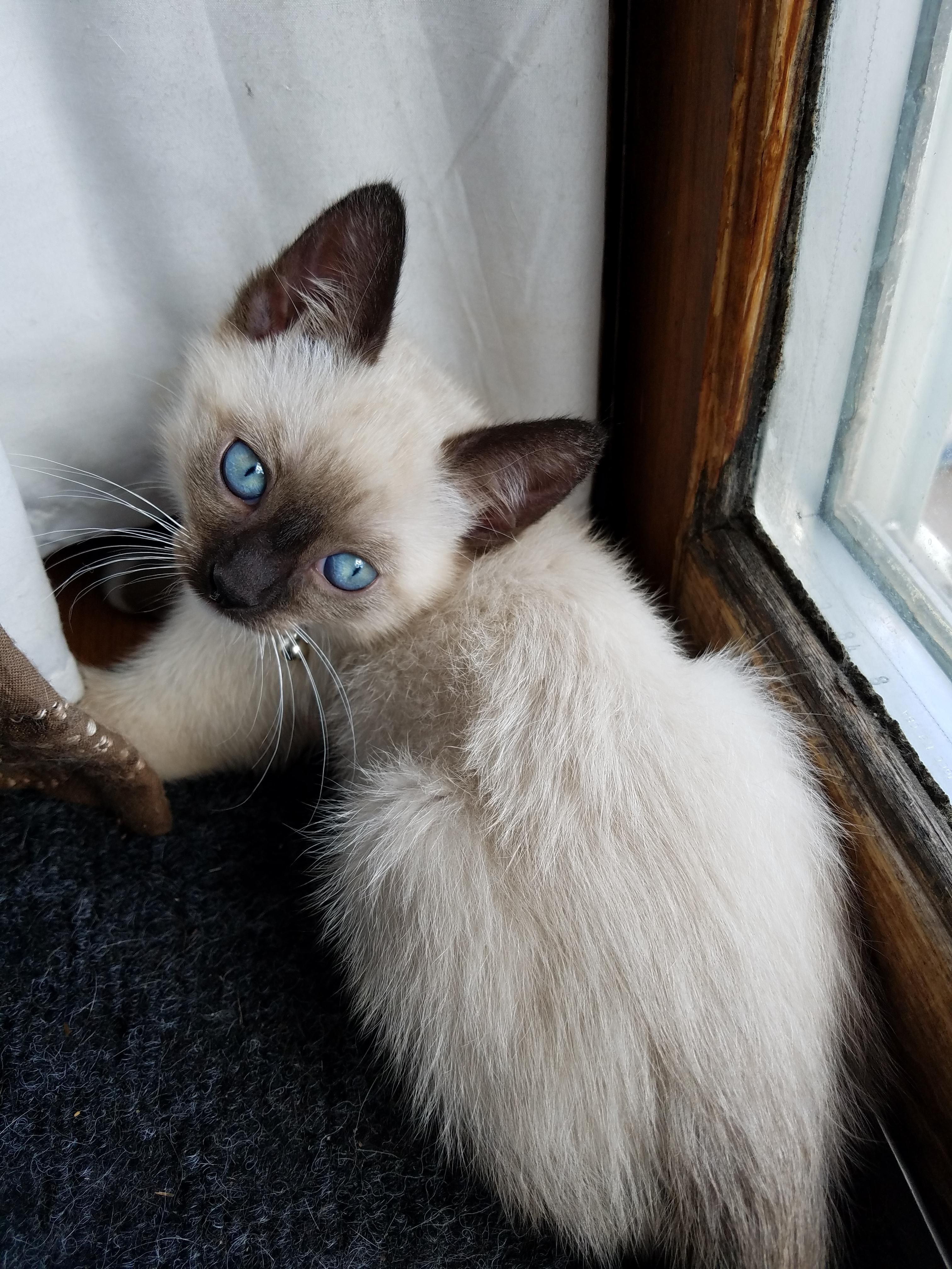 I recently adopted a snowshoe Siamese kitten. He's got