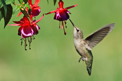 Humming Bird Hummingbird Plants Plants To Attract Hummingbirds How To Attract Hummingbirds