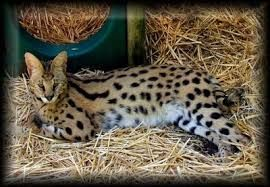 Worlds Most Expensive Cat Price 15 000 100 000 Ashera Is