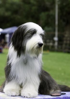 Pin By Teryn Glenn On Bearded Old English Sheepdog Dog Bearding Bearded Collie Puppies Bearded Collie