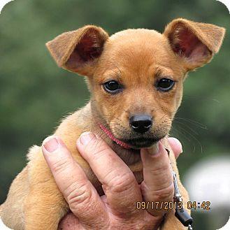 Pet Not Found Puppy Adoption Dachshund Adoption Dachshund