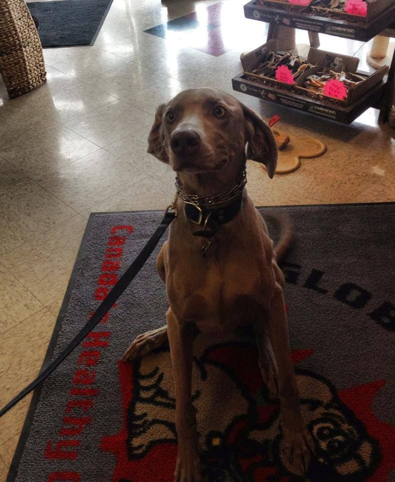 Dexter A Weimaraner Looked So Regal While Visiting The Global Pet Foods Store In Calgary Cambrian Location Alberta We Really Food Animals Pet Food Store