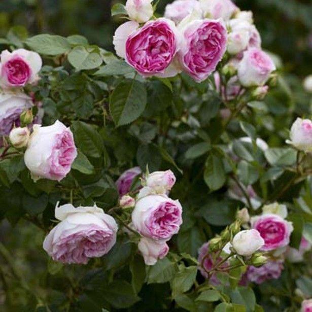 rosier arbustif ou grimpant miniature rosa mini eden rose mi ombre soleil juin octobre 120cm. Black Bedroom Furniture Sets. Home Design Ideas