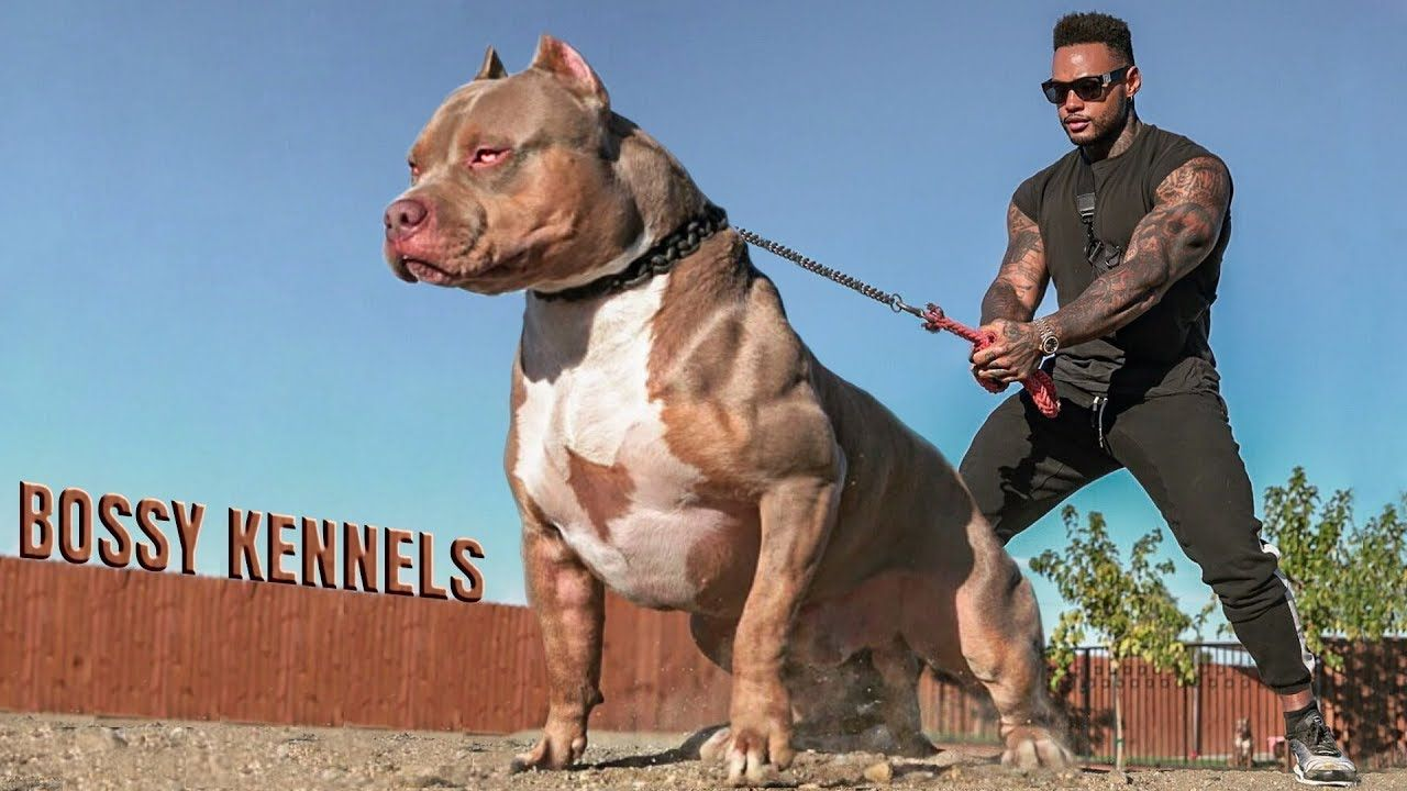 Best Of American Bully Pitbulls Extreme Dogs Dangerous Dogs