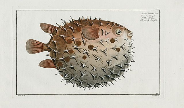 Diodon Orbicularis, Prickly Ballonfish, Spiny Puffer USD $345 Copper engravings by Marcus Elieser Bloch