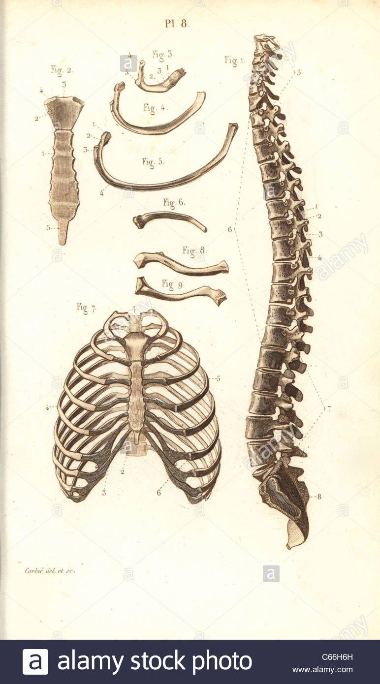 diagram of sternum   diagram of sternum spine ribs vertebrae and sternum  stock photo 38253897 alamy