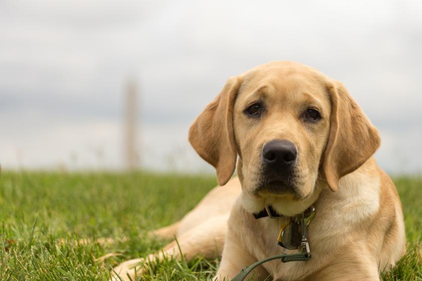 Dog Saves South Carolina Man Who Fell Into A River Labrador Retriever Labrador Labrador Dog