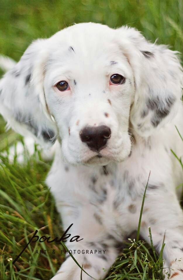 Pin By Betsy Packard On These Are A Few Of My Favorite Things English Setter Puppies English Setter Dogs Pretty Dogs