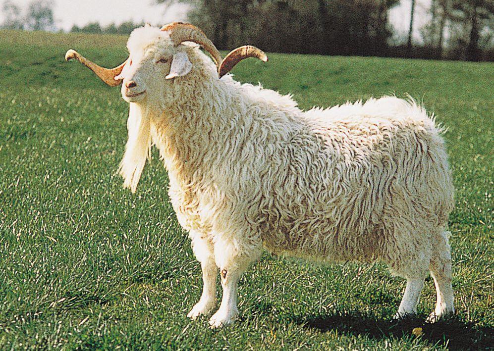 Angora Goat | angora-goat | Goats around the World | Goats ...