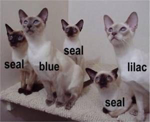 Colors Gato Siames Gatos Siames