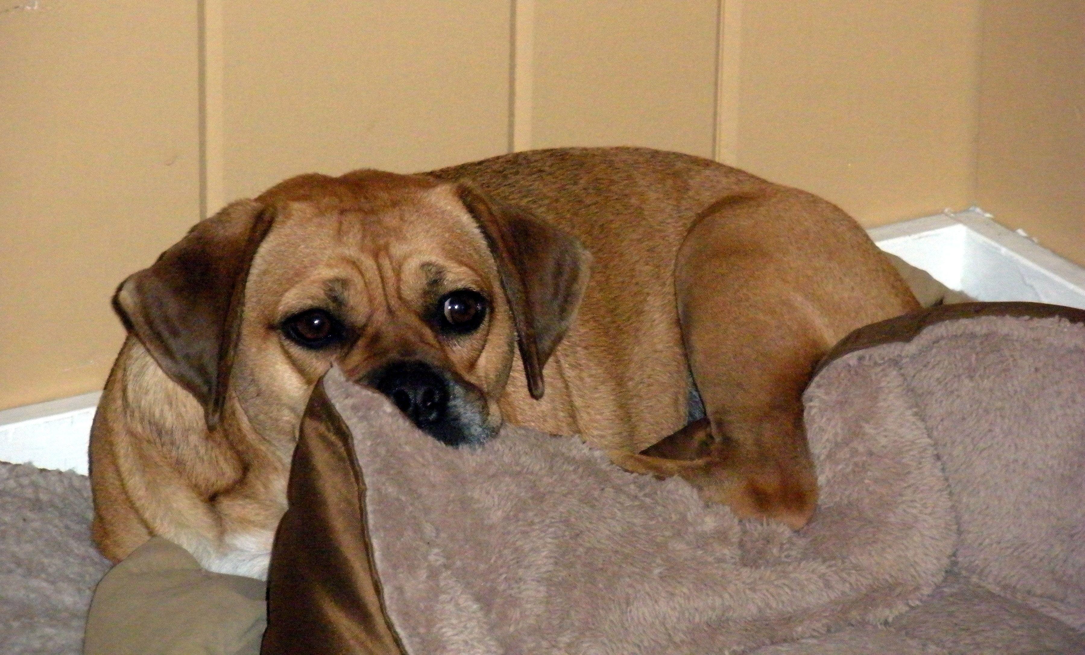 My Snuggle Puggle Sookie Dog Crossbreeds Pug Mix