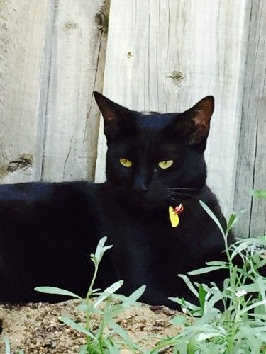 Reunited Black Cat Ebony Mount Claremont Perth Wa 6010 Cats Lost Cat Black Cat