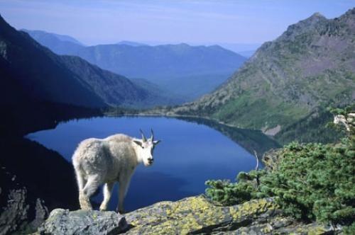 Mountain Goat Hidden Lake Glacier National Park Montana