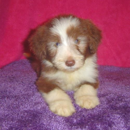 Bearded Collie Puppy Bearded Collie Bearded Collie Puppies
