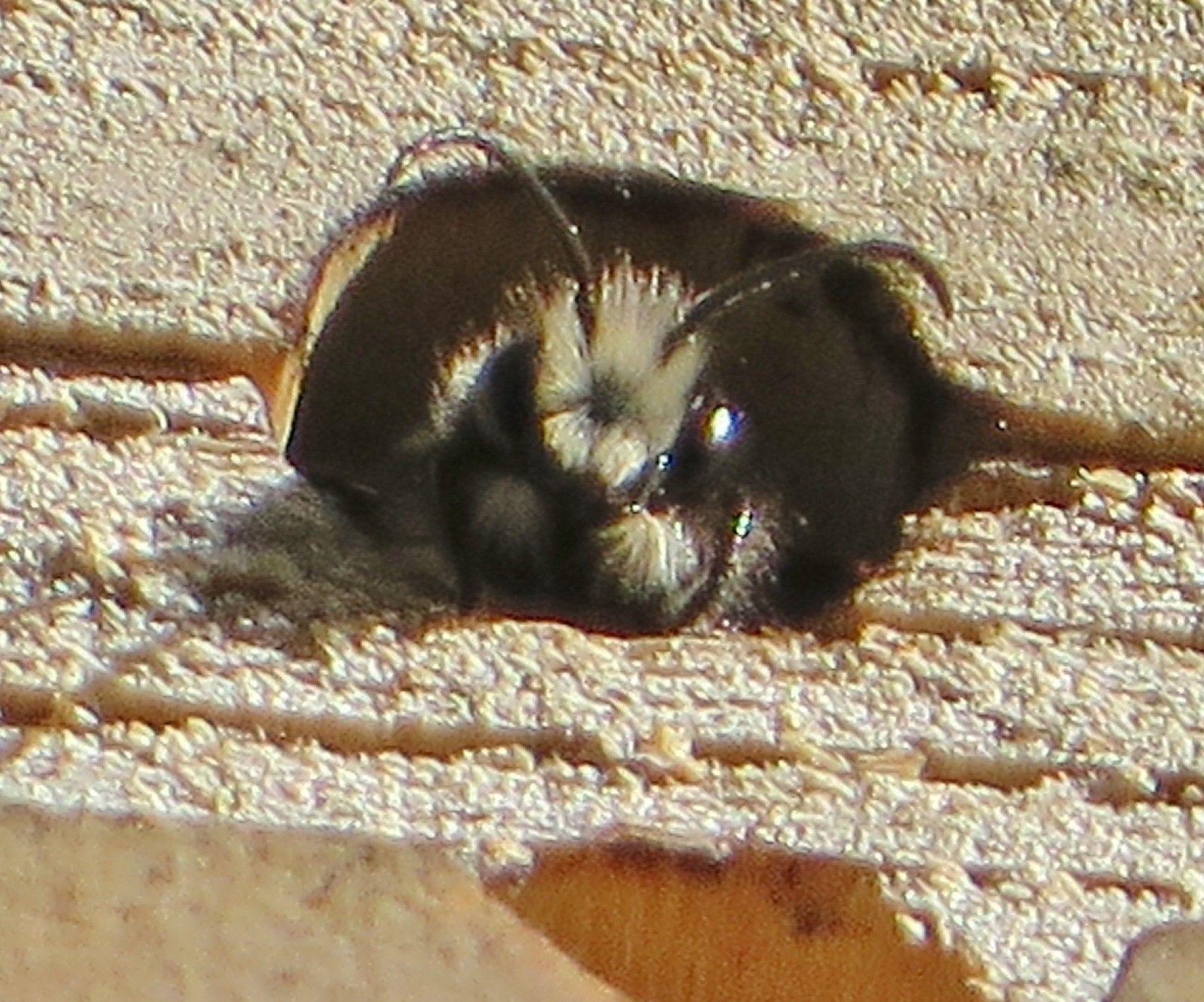 An orchard mason bee