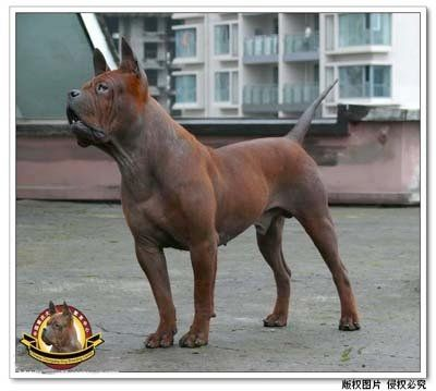 Chinese Chongqing The Chinese Chongqing Dog Is A Rare Breed That