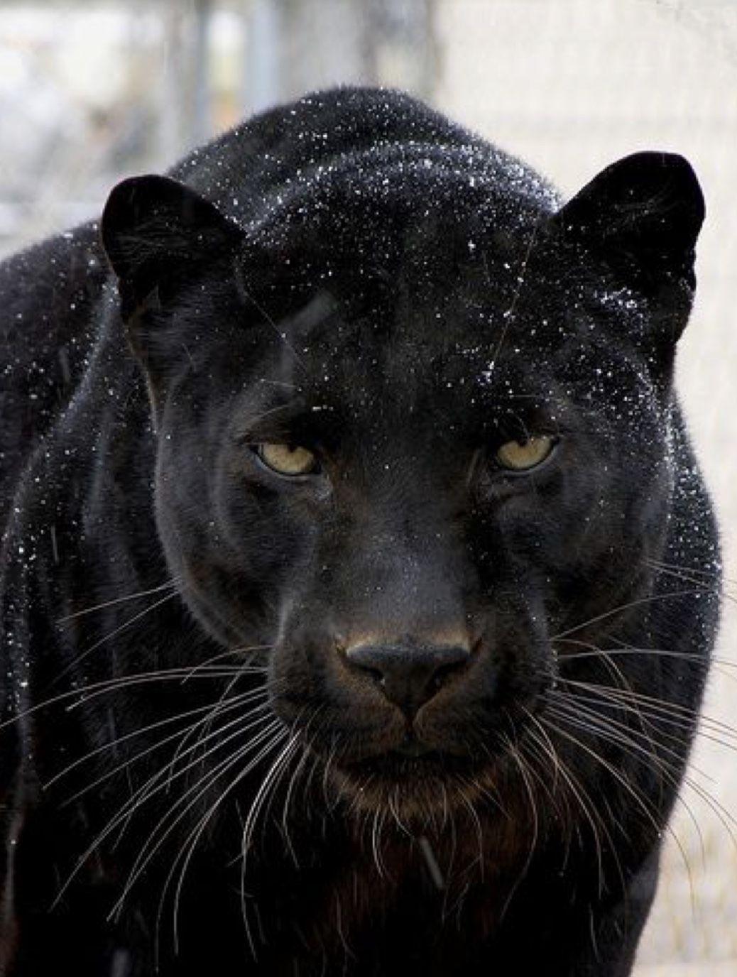 That Look Says It All Jaguar Animal Animals Beautiful Cats