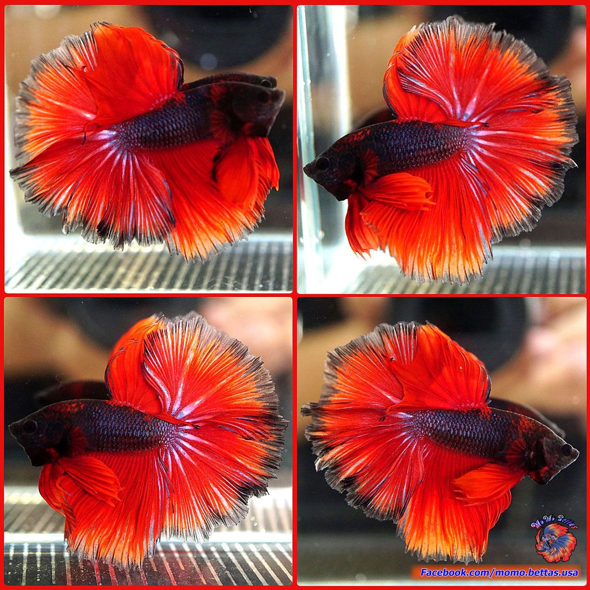 Live Betta Fish Male Red Devil Rosetail Over Halfmoon OHM #466 ...