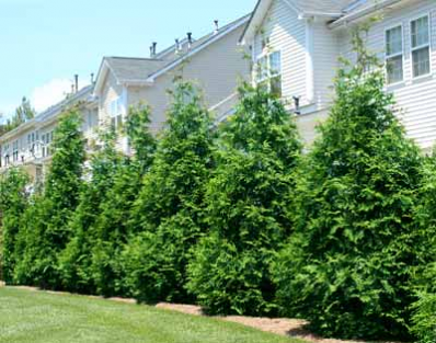 New Evergreen Bred for Instant Privacy - The Thuja Green Giant is ...