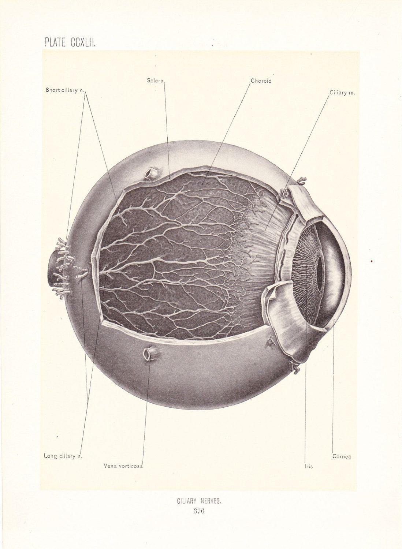 Eye Anatomy Vintage Diagram Ge Gas Dryer Wiring 1899 Human Print Ciliary Nerves Of