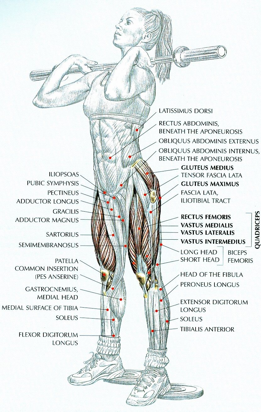 strength training anatomy pdf تحميل