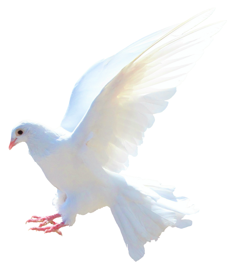 Dove Png Image Purepng Free Transparent Cc0 Png Image Library Dove Images Photo Background Images Hd Love Background Images