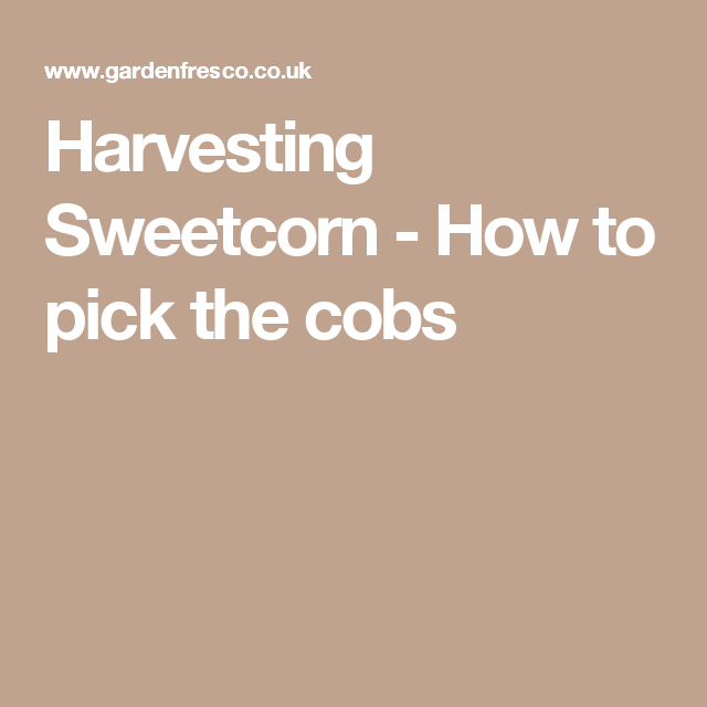 Harvesting Sweetcorn - How to pick the cobs