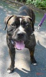 Adopt Caine On Mastiff Dogs Corso Dog Big Dogs