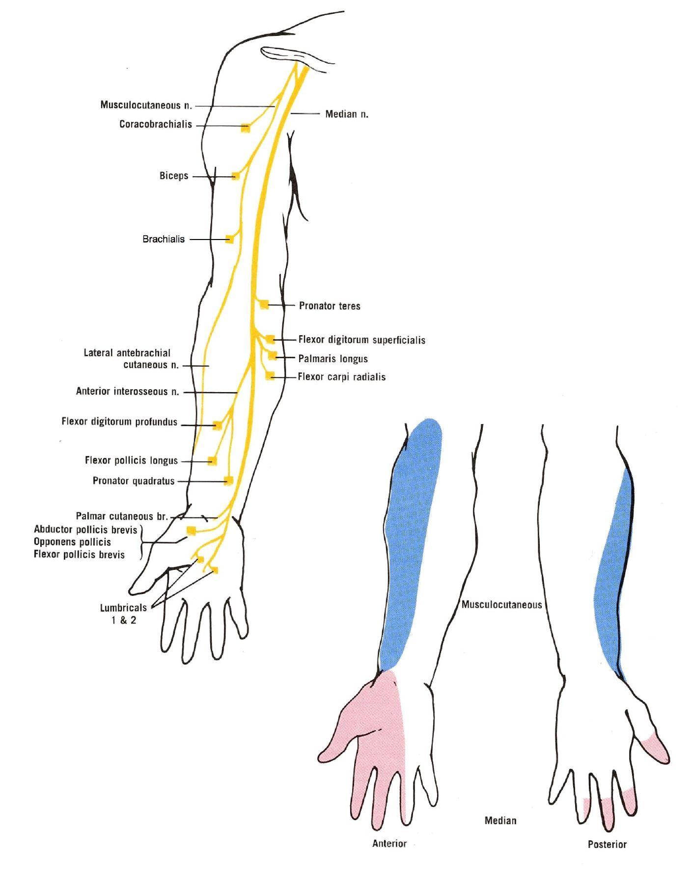 ulnar nerve diagram r33 stereo wiring median distribution nursing pinterest