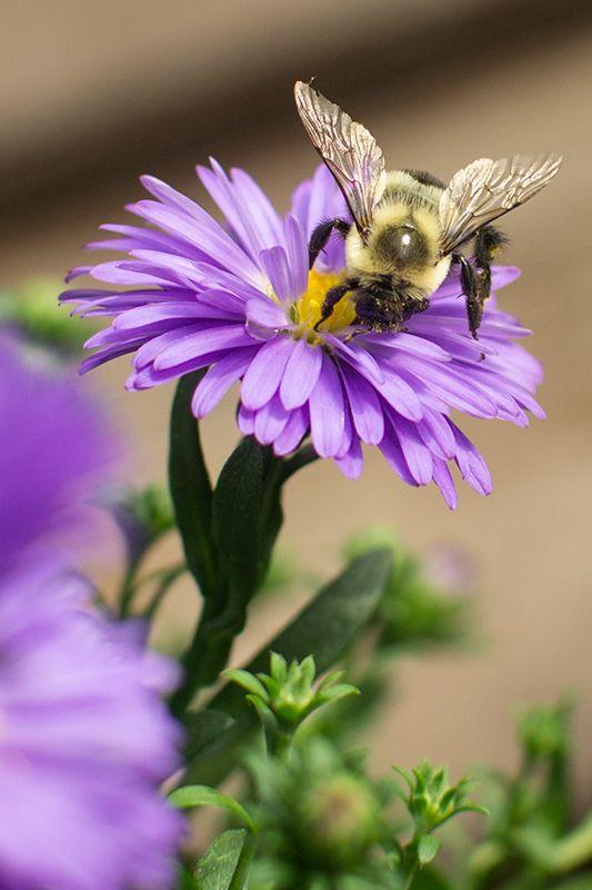 Bee On An Aster Flower Www Mulhalls Com Purple Garden Flowers Nature Bee Photo